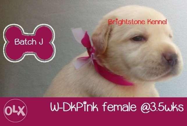 20 RM Top Quality Labrador Retriever Puppies w PCCI Champ Line