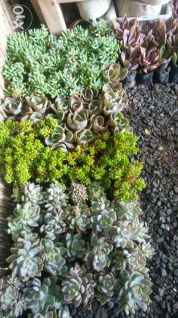 Cactus and Succulents Bagsakan in Quezon City