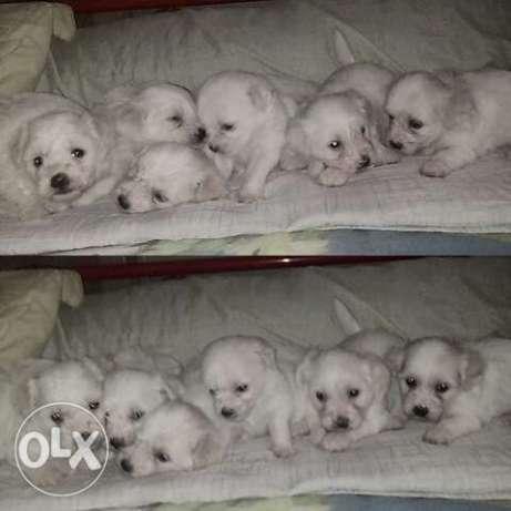 Puppies for Sale Bichon Frise x Poodle