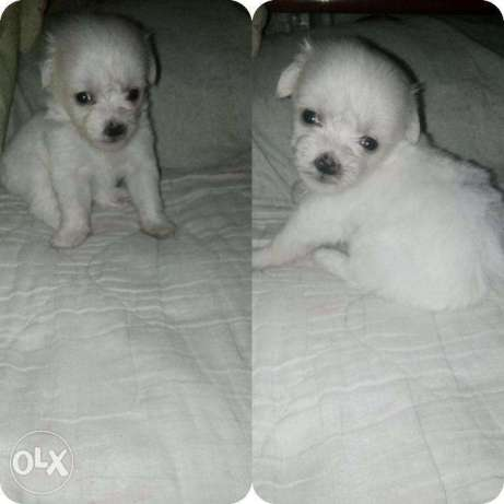 Puppies for Sale Bichon Frise x Poodle