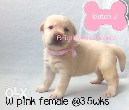 20 RM Top Quality Labrador Retriever Puppies w PCCI Champ Line