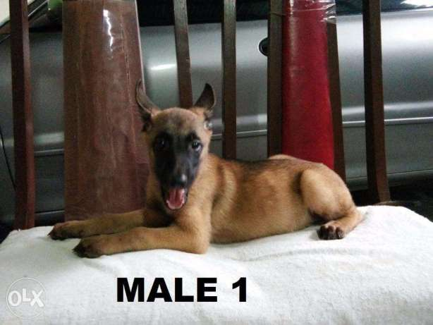 Belgian Malinois Puppies MALE only