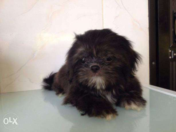 Shih Tzu Puppy – Chewy's grand pups Liverline
