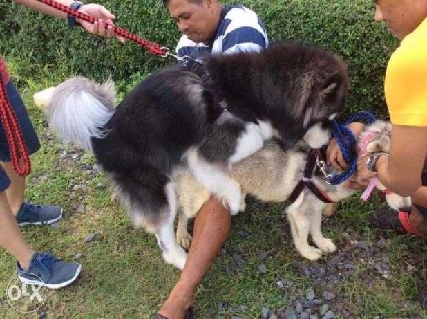 Siberian Husky Wooly STUD Service