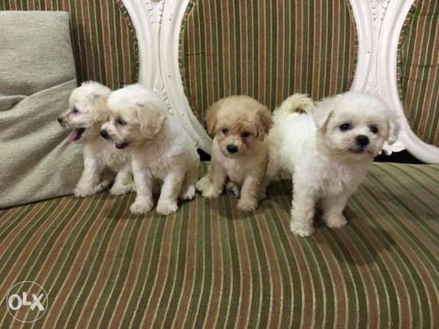 Bichon Frise Puppies!