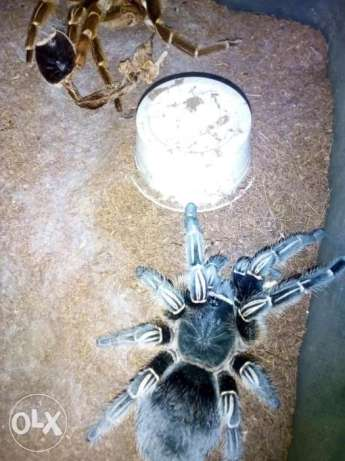 Adult Tarantula