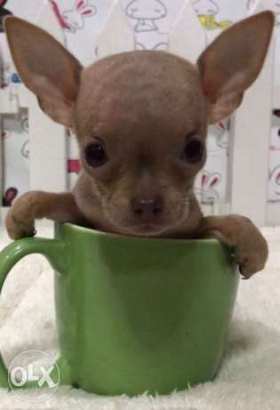Chihuahua Super Teacups Blue Female and Tan Male
