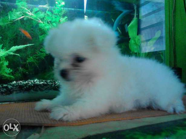 Shih Tzu mixed lhasa apso puppy