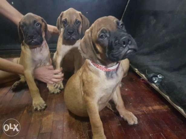 Bullmastiff All Females Giant Puppies Pcci complete