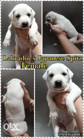 Labrador Japanese spitz (crossbreed)