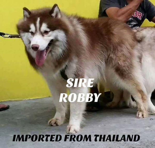 Siberian husky, import line, wooly line