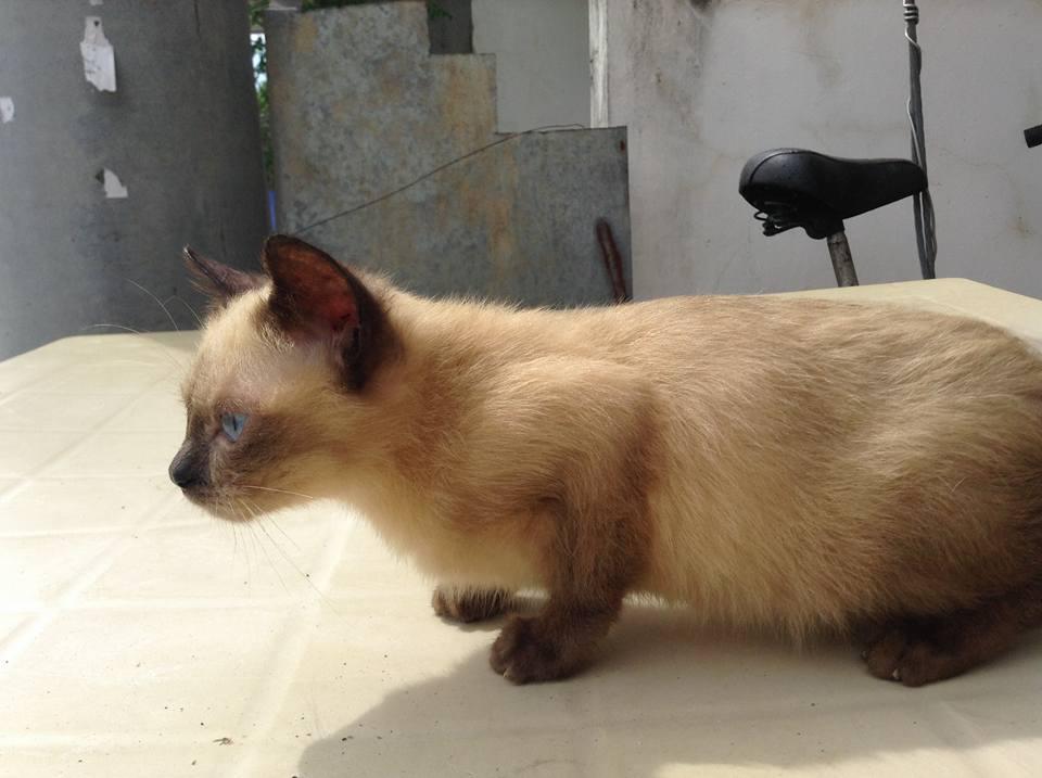 Siamese X Burmese Male Kitten
